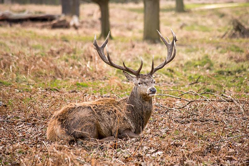 A Wild Stag in Richmond Park, London