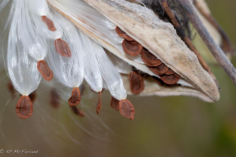 Common milkweed (Asclepias syriaca) seeds