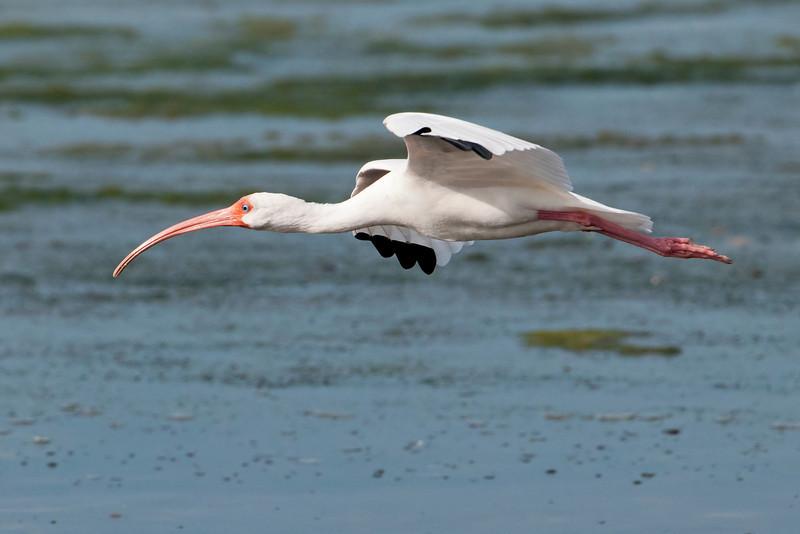 Ibis - White - Ding Darling NWR - Sanibel, FL - 05