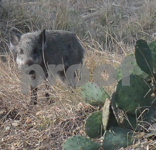 feral-hog-healthy-streams-program-set-for-may-2-in-seguin
