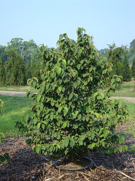 Viburnum tom. plicatum 'Shasta'   Doublefile Viburnum
