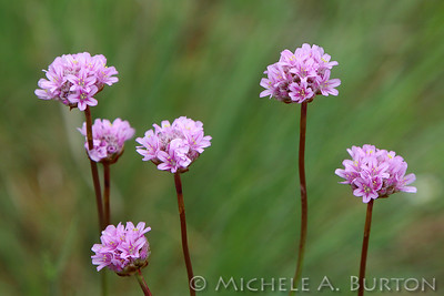 Prairie Wildflowers - Scatter Creek and Mima Mounds