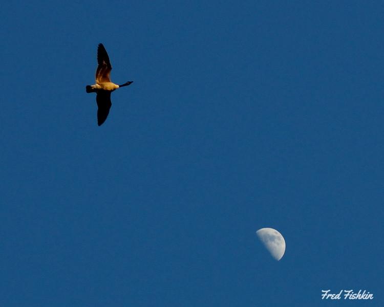 Goose moon.jpg