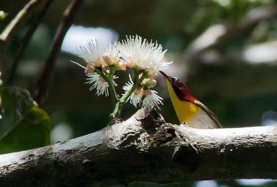 Aethopyga bella - Handsome Sunbird
