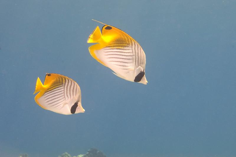 Threadfin Butterflies.jpg