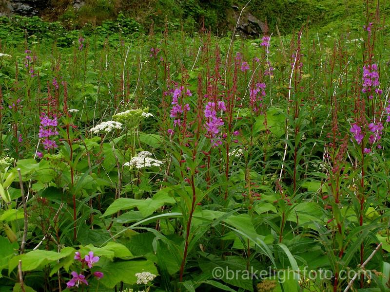 Fireweed and Yarrow on Grassy Island