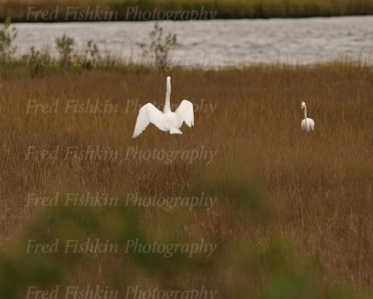egret couple.jpg