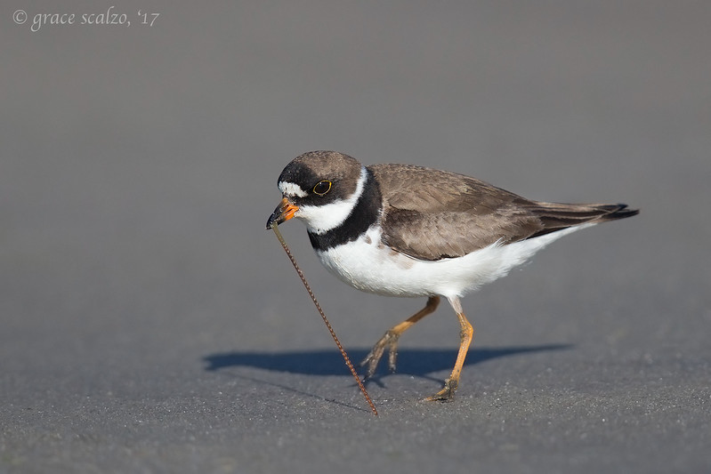 Semipalmated plover with red worm