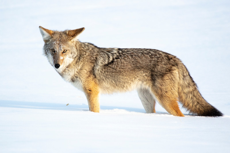 387A0115 Coyote looking towards me close.jpg