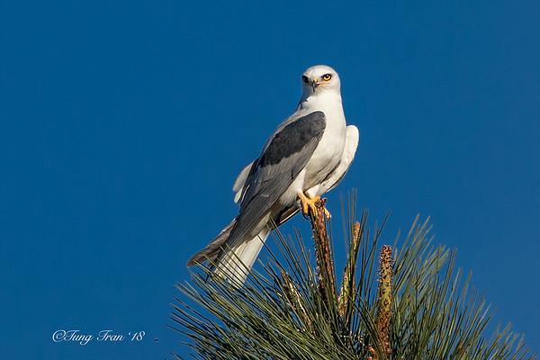 White-tailed-Kite portrait