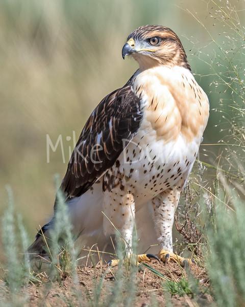 Ferruginous Hawk-164