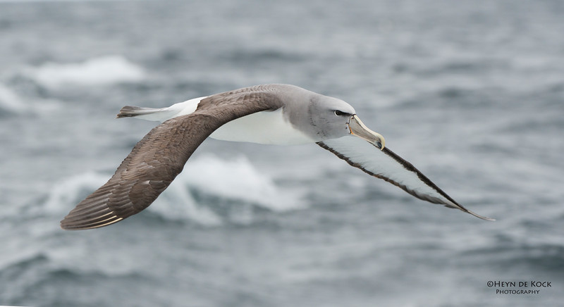 Salvin's Albatross, Stewart Island Pelagic, SI, NZ, Jan 2013-2 copy.jpg