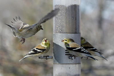 2009 Goldfinches & Pine Siskins