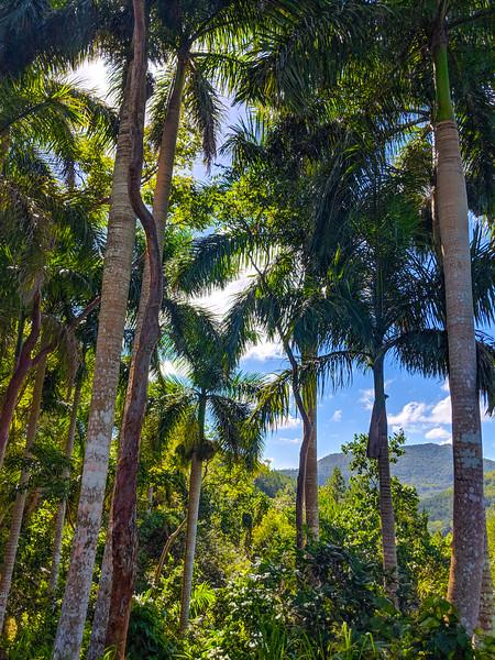 Las Terrazas cuba palm trees.jpg