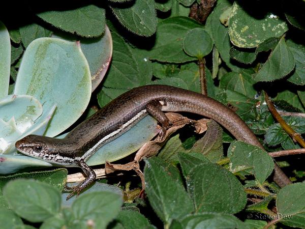 Boulenger's Snake-Eyed Skink