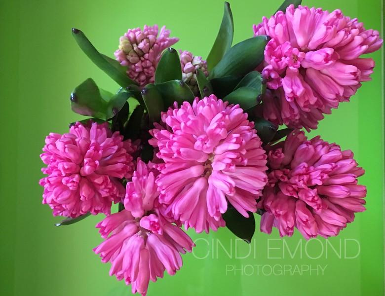 "41 ""Hyacinth Flowers"" IMG_7741.jpeg"