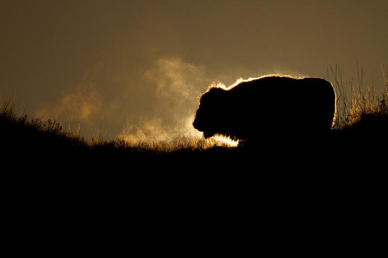 Bison Teddy Roosevelt National Park Medora ND IMG_6342.jpg