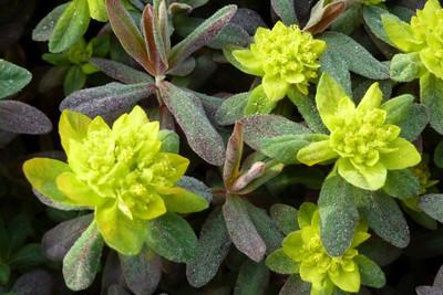 Euphorbia polychroma 'Bonfire'.jpg