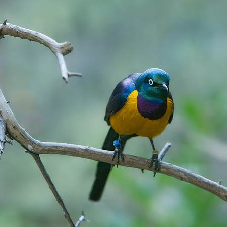 Goldenbreasted Starling
