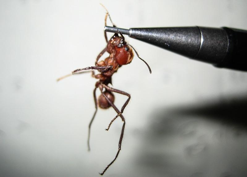 080522, Cutter Ant.jpg