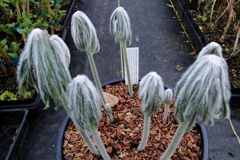 Syneilesis aconitifolia x Syneilesis palmata