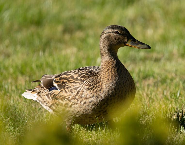 duck30.jpg