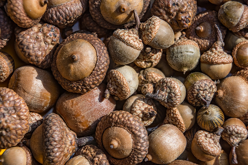 Acorns-oaks-pinoak-white-mix.jpg