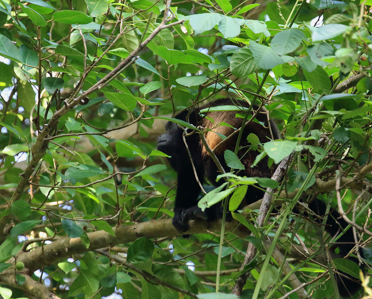 Golden-mantled Howler Monkey.jpg