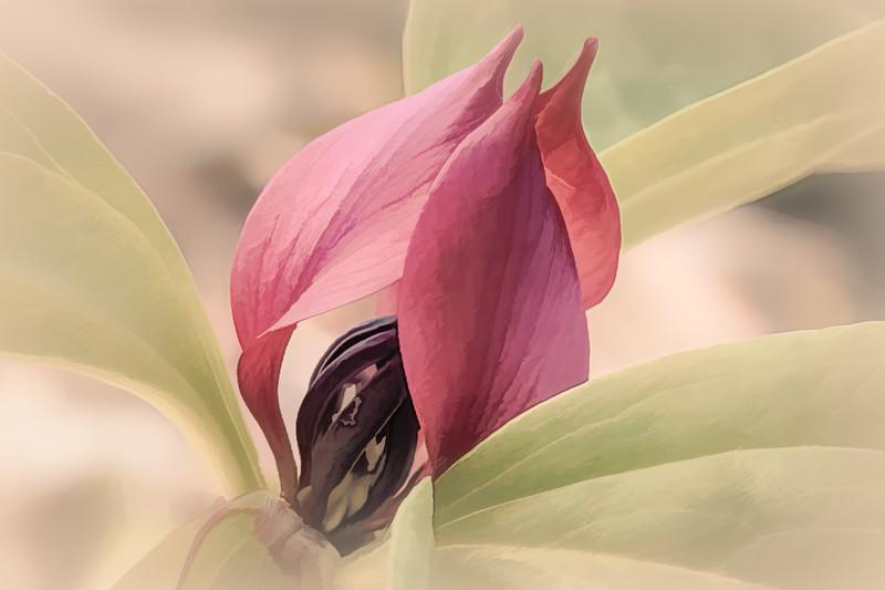 Carl Simmerman-Red Trillium.jpg