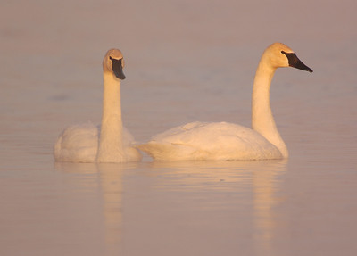 Swans-Geese