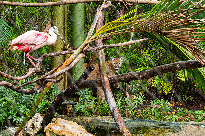 Micco, a western cougar, watches a roseate spoonbill at the Palm Beach Zoo in West Palm Beach on Monday, April 6, 2020. The zoo has been closed since March 18 due to the coronavirus outbreak. [JOSEPH FORZANO/palmbeachpost.com]