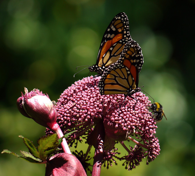 Monarch s and bee on Angelica.jpg