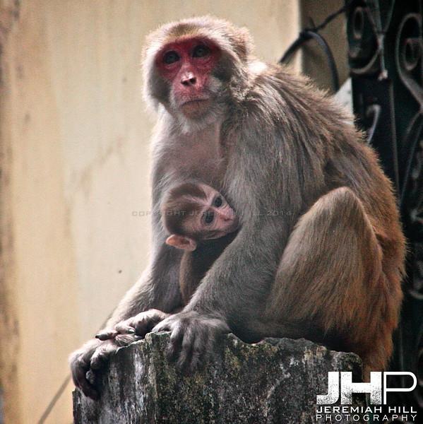 """Rishikesh Monkey Mom #1"", Rishikesh, Uttuaranchal, India, 2007 Print IND3628-030"