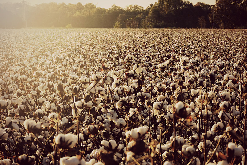 Just a few more pictures of the cotton fields.  This field will be harvested soon.