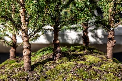 My dwarf alberta spruce forest
