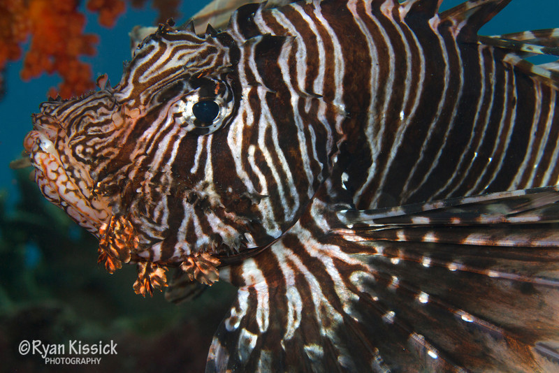 Lionfish with orange coral in the background
