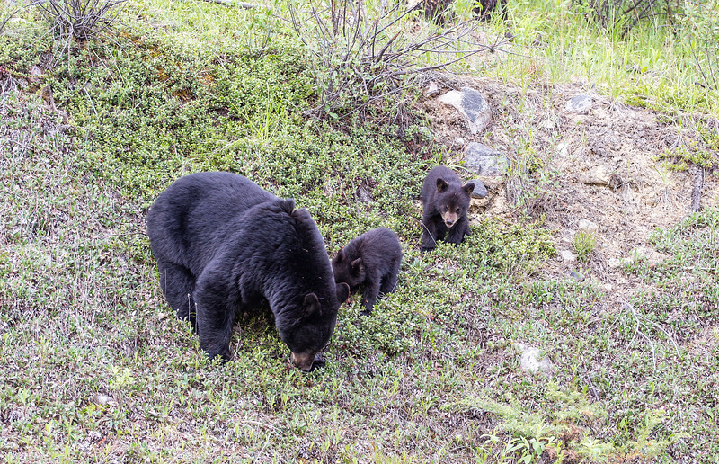 Black Bear and Cubs Wabasso Road June 2019.jpg