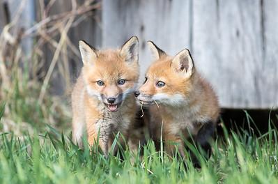 Red Fox Kits 2018