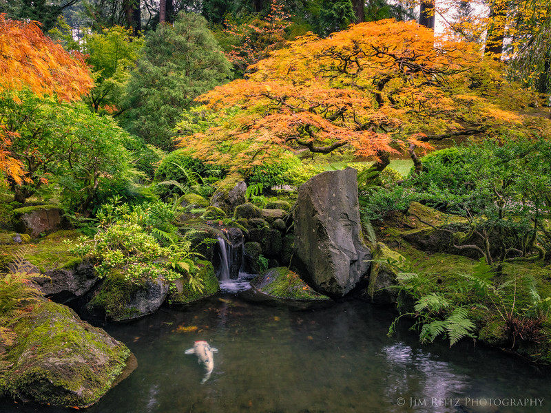 Koi pond, maple, and waterfall. Portland Japanese Garden