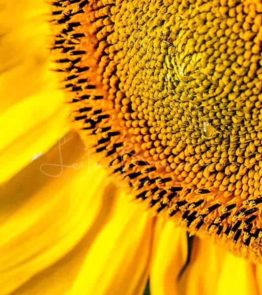 P403 - Sunflower tear - Not available