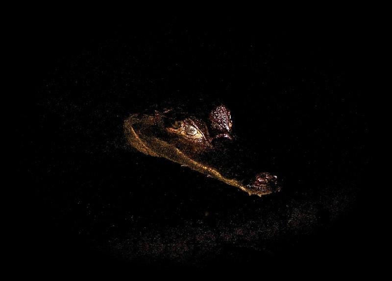 Black Caiman (Melanosuchus niger)