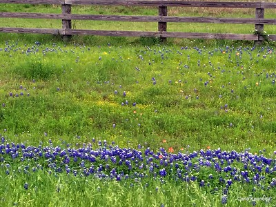 2015 04-02 bluebonnets in Cat Springs