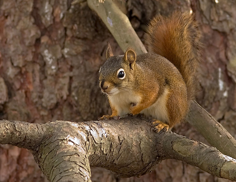 North American Red Squirrel aka pine sq or piney