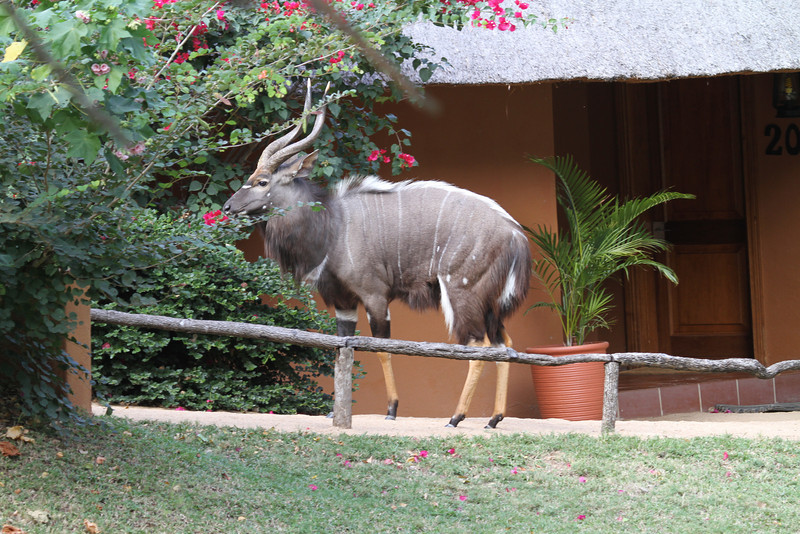 Male nyala visiting our room