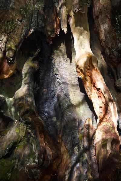 Charred Bark of Redwood in Redwood National Park - Lady Bird Johnson Grove