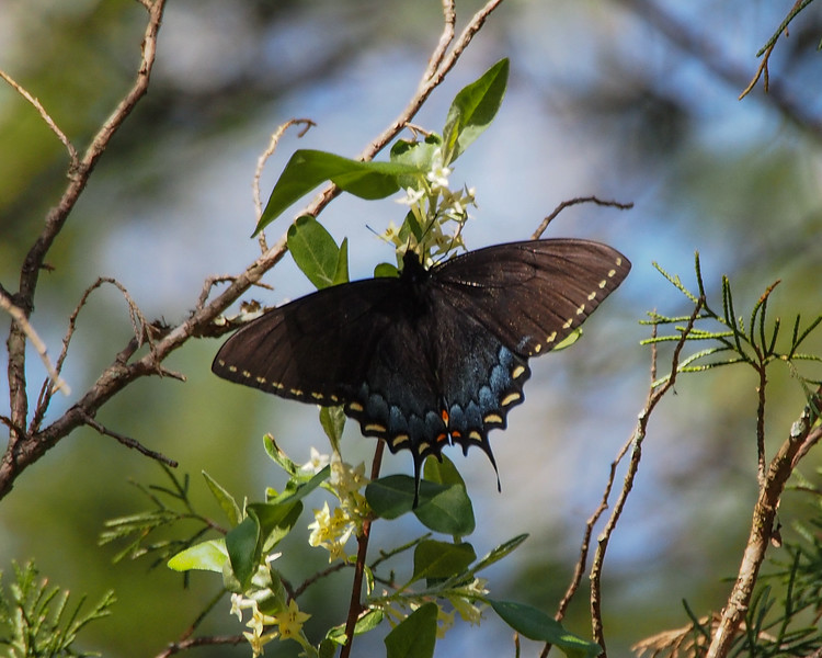 Eastern Tiger Swallowtail, female