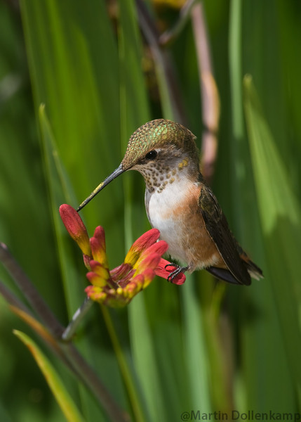Rufous Hummingbird, juvenile male, at the Crocosmia. Selasphorus rufus