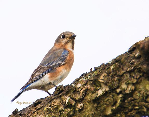 Eastern Bluebird CB_DWL7543.jpg