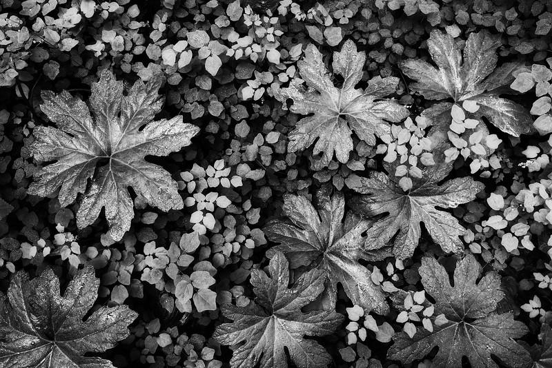 Sarah-Marino-Redwoods-Forest-Floor-Black-White-1200px.jpg