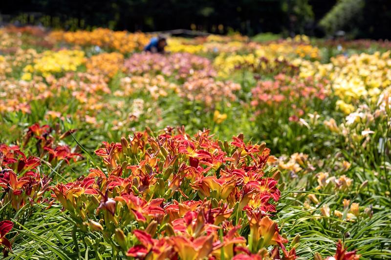 White House Lilies